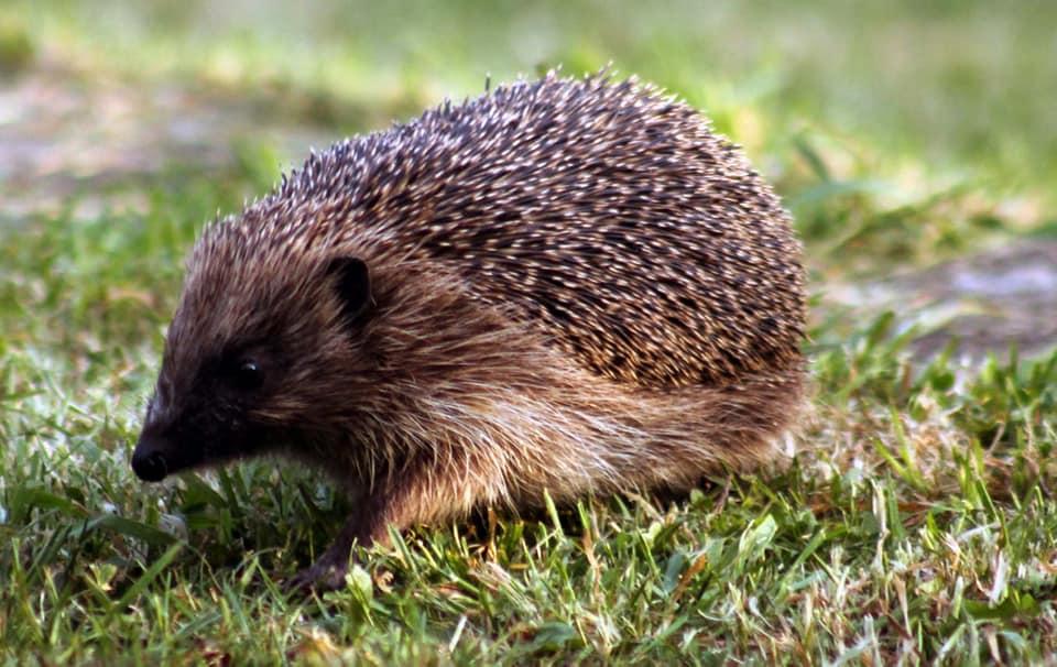 Time to return to Hedgehog Hollow – Jessica Redland